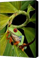 Chromatic Contrasts Canvas Prints - A Red-eyed Tree Frog Agalychnis Canvas Print by George Grall