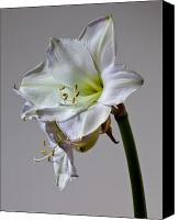 Still Life Pyrography Canvas Prints - Amaryllis 2 Canvas Print by Robert Ullmann