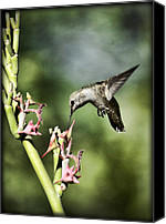 Annas Hummingbird Canvas Prints - Annas Hummingbird  Canvas Print by Saija  Lehtonen