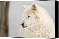Wolf Cubs Canvas Prints - Arctic Wolf Portrait Canvas Print by Michael Cummings