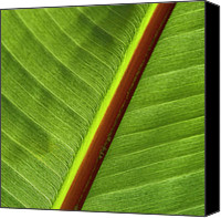 Structural Canvas Prints - Banana Leaf Canvas Print by Heiko Koehrer-Wagner