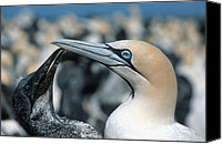 Wanting Canvas Prints - Cape Gannets Canvas Print by Georgette Douwma