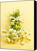 Blossom Canvas Prints - Chamomile flowers Canvas Print by Elena Elisseeva