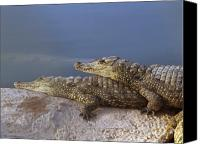 Israel Canvas Prints - Crocodile resting Canvas Print by Arik Baltinester
