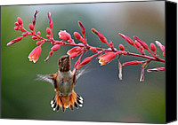 Annas Hummingbird Canvas Prints - Full Frontal  Canvas Print by Fraida Gutovich