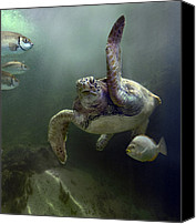 Approaching Canvas Prints - Green Sea Turtle Chelonia Mydas Canvas Print by Tim Fitzharris