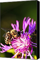 Antenna Canvas Prints - Honey bee Canvas Print by Elena Elisseeva