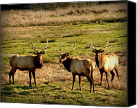 Bulls Photo Canvas Prints - 3 Magnificent Bull Elk Canvas Print by Cindy Wright