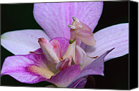 Animal Behaviour Canvas Prints - Orchid Mantis Hymenopus Coronatus Canvas Print by Thomas Marent