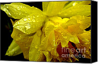 Rip Van Winkle Daffodil Canvas Prints - Raindrops on Double Daffodil Canvas Print by Thomas R Fletcher