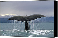 Whale Canvas Prints - Sperm Whale Tail New Zealand Canvas Print by Flip Nicklin