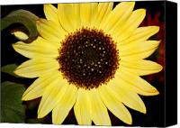Sunflowers Canvas Prints - Sunflower Canvas Print by Cathie Tyler