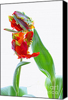 Tulips Canvas Prints - Tulips Canvas Print by Kristin Kreet