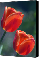 Two Red Tulips Canvas Prints - Tulips (tulipa Hybrid) Canvas Print by Maria Mosolova