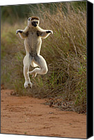 Primates Canvas Prints - Verreauxs Sifaka Propithecus Verreauxi Canvas Print by Pete Oxford
