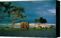 And Threatened Animals Photography Canvas Prints - African Elephant Loxodonta Africana Canvas Print by Beverly Joubert