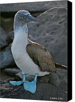 Galapagos Islands Canvas Prints - Blue-footed Booby Canvas Print by Larry Linton