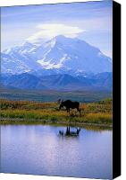 Moose Canvas Prints - Denali National Park Canvas Print by John Hyde - Printscapes