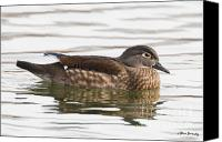 Female Wood Duck Canvas Prints - Female Wood Duck Canvas Print by Steve Javorsky