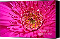 Flower Blooming Canvas Prints - Gerbera flower Canvas Print by Elena Elisseeva