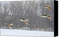 Waterfowl Canvas Prints - 4 In A Row Canvas Print by Robert Pearson