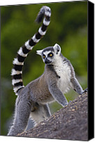 Primates Canvas Prints - Ring-tailed Lemur Lemur Catta Portrait Canvas Print by Pete Oxford