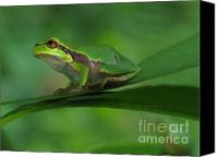 Screen Doors Canvas Prints - Tree frog Canvas Print by Odon Czintos