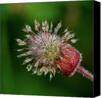 Avens Canvas Prints - Water Avens Canvas Print by Jouko Lehto