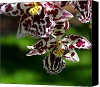 Exotic Canvas Prints - Exotic Orchids of C Ribet Canvas Print by C Ribet