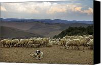 Tuscany Canvas Prints - Flock Of Sheep Canvas Print by Joana Kruse