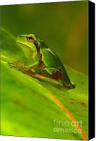 Czintos Canvas Prints - Tree frog Canvas Print by Odon Czintos