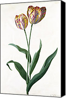Grb Canvas Prints - 5 Tulip Tulip  Canvas Print by Georg Dionysius Ehret
