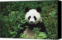 Animals And Earth Canvas Prints - Giant Panda Ailuropoda Melanoleuca Canvas Print by Cyril Ruoso