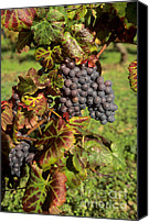 Blue Grapes Canvas Prints - Grapes growing on vine Canvas Print by Bernard Jaubert