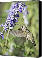 Annas Hummingbird Canvas Prints - Hummingbird  Canvas Print by Saija  Lehtonen