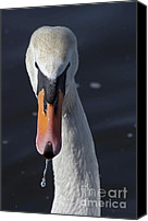Cygnus Olor Canvas Prints - Swan Canvas Print by Michal Boubin