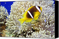 Amphiprion Bicinctus Canvas Prints - Twoband Anemonefish Canvas Print by Dimitris Neroulias