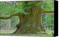 Big Tree Canvas Prints - 800 Years Old Oak Tree  Canvas Print by Heiko Koehrer-Wagner