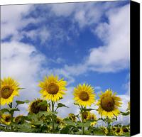 Sunflowers Canvas Prints - Field of sunflowers Canvas Print by Bernard Jaubert