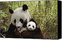 Gesturing Canvas Prints - Giant Panda Ailuropoda Melanoleuca Canvas Print by Katherine Feng