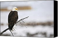 Eagle Watching Canvas Prints - A Bald Eagle Overlooks An Elk Feed Canvas Print by Drew Rush