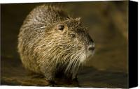 Henry Doorly Zoo Canvas Prints - A Beaver From The Omaha Zoo Canvas Print by Joel Sartore