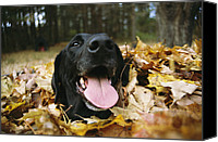 Autumn Photographs Canvas Prints - A Black Lab Named Blackie Plays Canvas Print by Bill Curtsinger