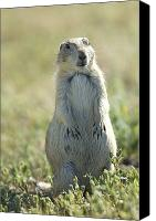 Prairie Photography Canvas Prints - A Black-tailed Prairie Dog In Montana Canvas Print by Joel Sartore