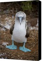 Outdoors Canvas Prints - A Blue Footed Booby Looks At The Camera Canvas Print by Stephen St. John