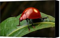 Chromatic Contrasts Canvas Prints - A Brilliantly Red Leaf Beetle Canvas Print by George Grall