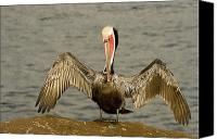 Pelicans Canvas Prints - A Brown Pelican Pelecanus Occidentalis Canvas Print by Tim Laman