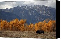 Bison Canvas Prints - A Buffalo Grazing In Grand Teton Canvas Print by Aaron Huey