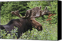 Moose Canvas Prints - A Bull Moose Among Tall Bushes Canvas Print by Michael Melford