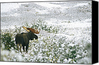 Bulls Photo Canvas Prints - A Bull Moose On A Snow Covered Hillside Canvas Print by Rich Reid